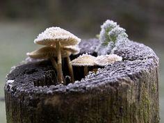 frosty mushroom