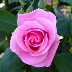very pretty pink rose....