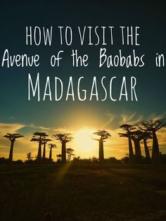 How to visit theAvenue Of The Baobabs in Madagascar, one of the most famous landmarks in all of Africa. Travel guide to Madagascar. Travel Tips.