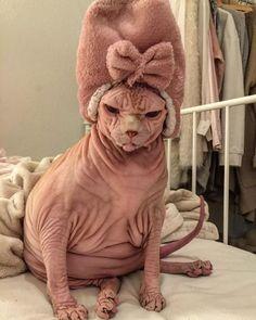 Xherdan The Sphynx Cat Becomes Internet's New Spirit Animal Baby Animals, Funny Animals, Cute Animals, Gato Sphinx, Crazy Cat Lady, Crazy Cats, Cute Cats, Funny Cats, Cat Aesthetic