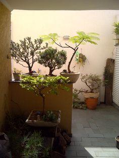 Meus bonsais (#Bonsai #Primavera #Bougainville... #Buxinhos e #Flamboyant )