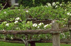Early Euro/American Gardens & Farms: Historic Gardens - Spring at Colonial Williamsburg Colonial Garden, 17th Century Art, Colonial Williamsburg, Garden Fencing, Farm Gardens, Early American, Spring Garden, Beautiful Gardens, Backyard