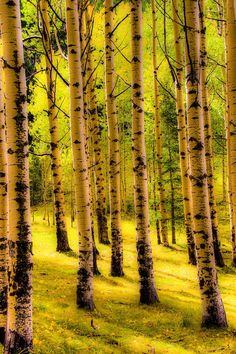 aspens, Lincoln National Forest, New Mexico