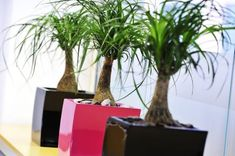3 great looking office plants in black and pink pots from Nature at Work