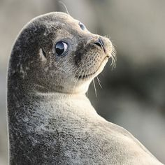 This Pin was discovered by wuvely. Discover (and save) your own Pins on Pinterest. | See more about Seals and Animal.