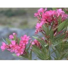 Nerium, Plants, Poisonous Plants, Gatos, Flora, Plant