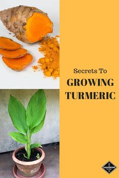 Buy Flowers Online Same Day Delivery Learn How To Grow And Harvest Your Own Turmeric From Your Garden, Windowsill Or Container Garden. Turmeric Is A Low-Maintenance Plant That Is Resilient To Many Problems And Pests. Pursue These Gardening Tips. Hydroponic Gardening, Hydroponics, Organic Gardening, Indoor Gardening, Urban Gardening, Grow Turmeric, Organic Turmeric, Turmeric Tea, Diy Garden