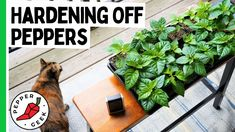 Growing Peppers, Pepper Plants, Indoor Plants, The Creator, Geek Stuff, Stuffed Peppers, Yard, Outdoors, Healthy