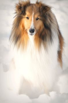 Midwinter Dream ~~ Memories of our dog Lady, who was a purebred Scottish collie. How she loved the snow. Baby Dogs, Pet Dogs, Dogs And Puppies, Dog Cat, Doggies, Beautiful Dogs, Animals Beautiful, Cute Animals, Rough Collie