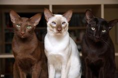 Gorgeous cinnamon siamese cats........And their cousins Oriental Shorthair....The have a bit different personalities but both are wonderful...