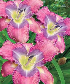This Reblooming Daylily Strawberry Flair Bare Root - Set of Six is perfect! #zulilyfinds