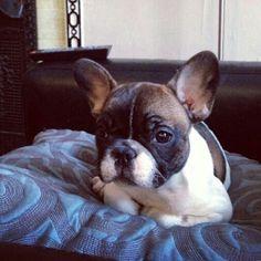 'Waffles', French Bulldog.