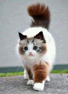 These kittens will brighten your day. Cats are incredible friends. Pretty Cats, Beautiful Cats, Animals Beautiful, Cute Baby Animals, Animals And Pets, Funny Animals, Funny Cats, Grumpy Cats, Ragdoll Cats