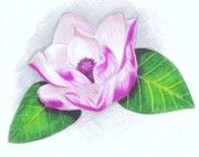 Magnolia Flower Drawing | Magnolia Flower Drawings - Pink Magnolia by Scarlett Royal