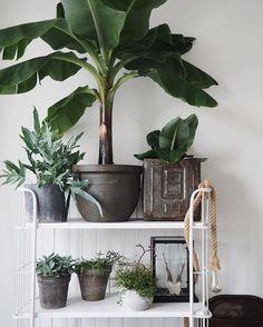 Ik ga het weer eens proberen.... Planten in huis. Banaan weer naar beneden gehaald.... #plant #planten #plants #green #groen #trolley #styling #stylist #stylen #styliste #enstijl #blog #blogger #changes #vtwonenbijmijthuis #vtwonen #inspiration #inspo #inspiratie #wonen #woonblog #woonkamer #banaan #bananenplant #vintage #new #interior #decoration