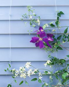 Invisible Trellis | Martha Stewart Living - Vines appear to defy gravity -- and let your wall show through -- when they climb without supportive woodwork.