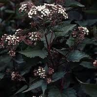 Eupatorium rugosum 'Chocolate' Koninginnekruid - Leverkruid. de bloemen zijn zeer geliefd bij vlinders en bijen. Tot 1.60m hoge struik met bloei van september tot aan de vorst