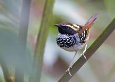 formigueiro-assobiador (Myrmoderus loricatus) por Ciro Albano | Wiki Aves - A Enciclopédia das Aves do Brasil