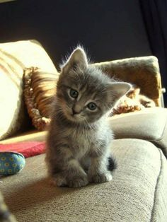 Hello, I am a precious kitten and I'd like to get to know you! #cats