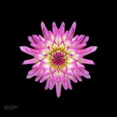 Pink and Cream Dahlia Symmetry - Pink and cream dahlia symmetry