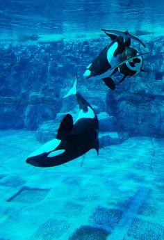 orcas . sea world San Diego. Put the captive orcas in an ocean enclosure to live out their lives. No more breeding of captive orcas.