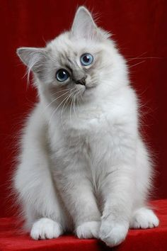 Most of us could spend days looking at baby animals, and if it's cute kittens - an eternity. Cute Baby Cats, Cute Cats And Kittens, Cute Baby Animals, Kittens Cutest, Funny Kittens, Funny Pugs, Pretty Cats, Beautiful Cats, Ragdoll Kittens
