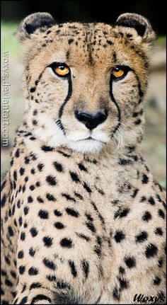 The Ultimate Proud Cheetah. (by Woxys on DeviantArt). Beautiful Cats, Animals Beautiful, Beautiful Creatures, Cute Kittens, Big Cat Family, Animals And Pets, Cute Animals, Cheetah Animal, Majestic Animals