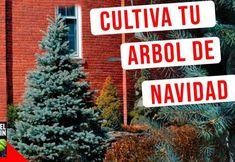 Cómo cultivar tu propio árbol de Navidad