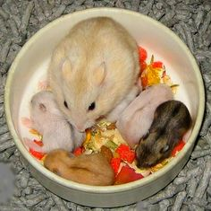 Mommy and baby Hamsters.