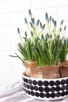 KUKKALA: #helmililja #muscari Spring Flowers, Planter Pots, Easter, Creative, Floral, Garden, Plants, Projects, Juices
