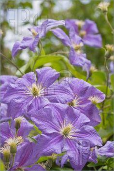 g clematis lavender on pinterest clematis prince. Black Bedroom Furniture Sets. Home Design Ideas