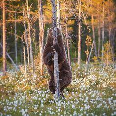 Bear hiding behind a tree : pics