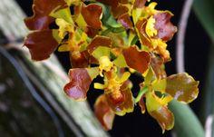 Baptistonia riograndense - Flickr - Photo Sharing!
