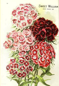 Sweet William. Seed Annual 1908. D.M. Ferry & Co. Detroit, Mich. http://archive.org/stream/seedannual19081908dmfe#...