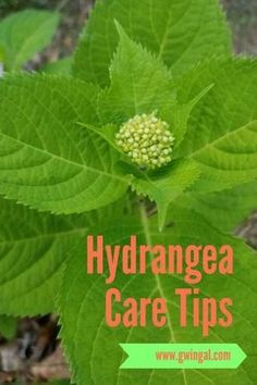 hydrangea garden care If your gardens are in the south, you may get a fungal disease on your Hydrangeas and ruining your beautiful blooms! Easy Care for Beautiful Hydrangeas ~ Gwin Gal Inside and Out Hydrangea Landscaping, Backyard Landscaping, Pruning Hydrangeas, Caring For Hydrangeas, Landscaping Ideas, Lavender Pruning, Pruning Shrubs, Backyard Designs, Flowering Shrubs