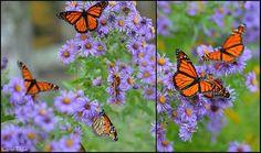 Monarch butterflies on aster!   Monarch Butterfly Garden