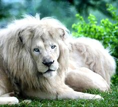 Blue eyed white lion this kind of lion to exist,even in wild but are selectively bred and very rare,infact white lions are not albinos lacking pigments. Beautiful Cats, Animals Beautiful, Adorable Animals, Beautiful Images, Big Cats, Cool Cats, South African Lions, Rare Animals, Wild Animals