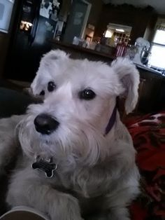 This is Nicholas such a darling white mini Schnauzer, just adorable❤️