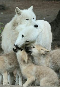 Have you ever seen the tenderness that a female wolf gives to her babies? The Arctic Wolf (Canis lupus arctos), also called Polar Wolf o. Wolf Husky, Wolf Pup, Animals And Pets, Baby Animals, Cute Animals, Strange Animals, Wolf Pictures, Animal Pictures, Beautiful Creatures