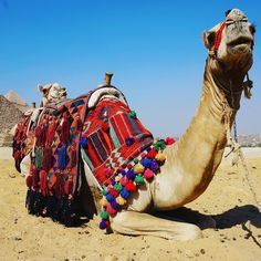 If you ever visit the pyramids a camel ride is a must!!  it was such an awesome experience!! @egypt @my.egypt  http://ift.tt/1DCT1i1  #TheWellTravelledMan #Wanderlust #NeverStopTravelling #Travel #Inspiration #Motivation #IloveThisPlace #TravelBlog #BucketList #Photooftheday #holiday #getaway #wanderer #passportfullofstamps #egypt #pyramids #giza #greatpyramid #camel #desert #MyEgypt