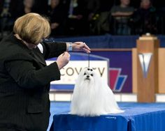 Breeder owner handling our Maltese Champion  Richelieu Undeniable to Best Toy Dog Bred By Exhibit at the AKC Eukanuba National Championship Show in Long Beach California.