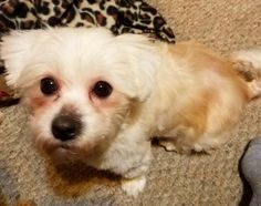 Suzy-Q is an adoptable Maltese searching for a forever family near Waukesha, WI. Use Petfinder to find adoptable pets in your area.
