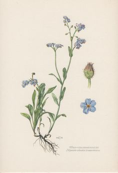 1950's Botanical Print Myosotis sylvatica by AntiquePrintGarden