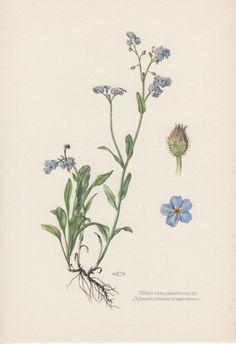 1950's Botanical Print Myosotis sylvatica by AntiquePrintGarden