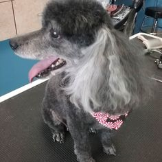 Baby Girl #tucsondoggrooming #doggrooming #wagsmytail A well groomed dog is a well loved dog! Call us today to schedule your dog grooming appointment 520-744-7040