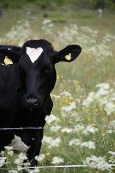 Fárm - animals farm - camp - campo - agricultura - vaca - gado - fazenda - chacara - roça