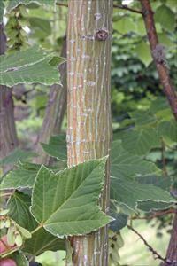 Acer rufinerve (Grijze streepjes bast esdoorn),kleine boom of meerstammige struik, breed vaasvormig, transparant, verfijnde vorm, tot 8m