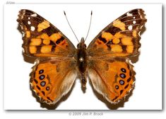 West Coast Lady (Vanessa annabella)
