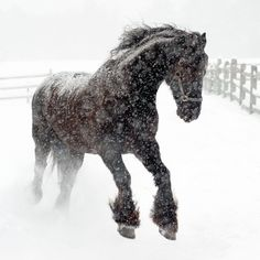 A beautiful horse dancing in the snow. Horses and snow are two of my favorite things in life. All The Pretty Horses, Beautiful Horses, Animals Beautiful, Cute Animals, Beautiful Things, Black Horses, Wild Horses, Winter Horse, Friesian Horse