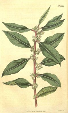 8866 Ilex mitis (L.) Radlk. [as Sideroxylon mite L.]  / Curtis's Botanical Magazine, vol. 43: t. 1858 (1816) [n.a.]